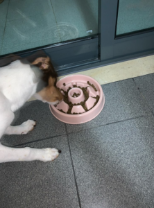 Slow Feeder Dog Bowl with Jack Russell Terrier