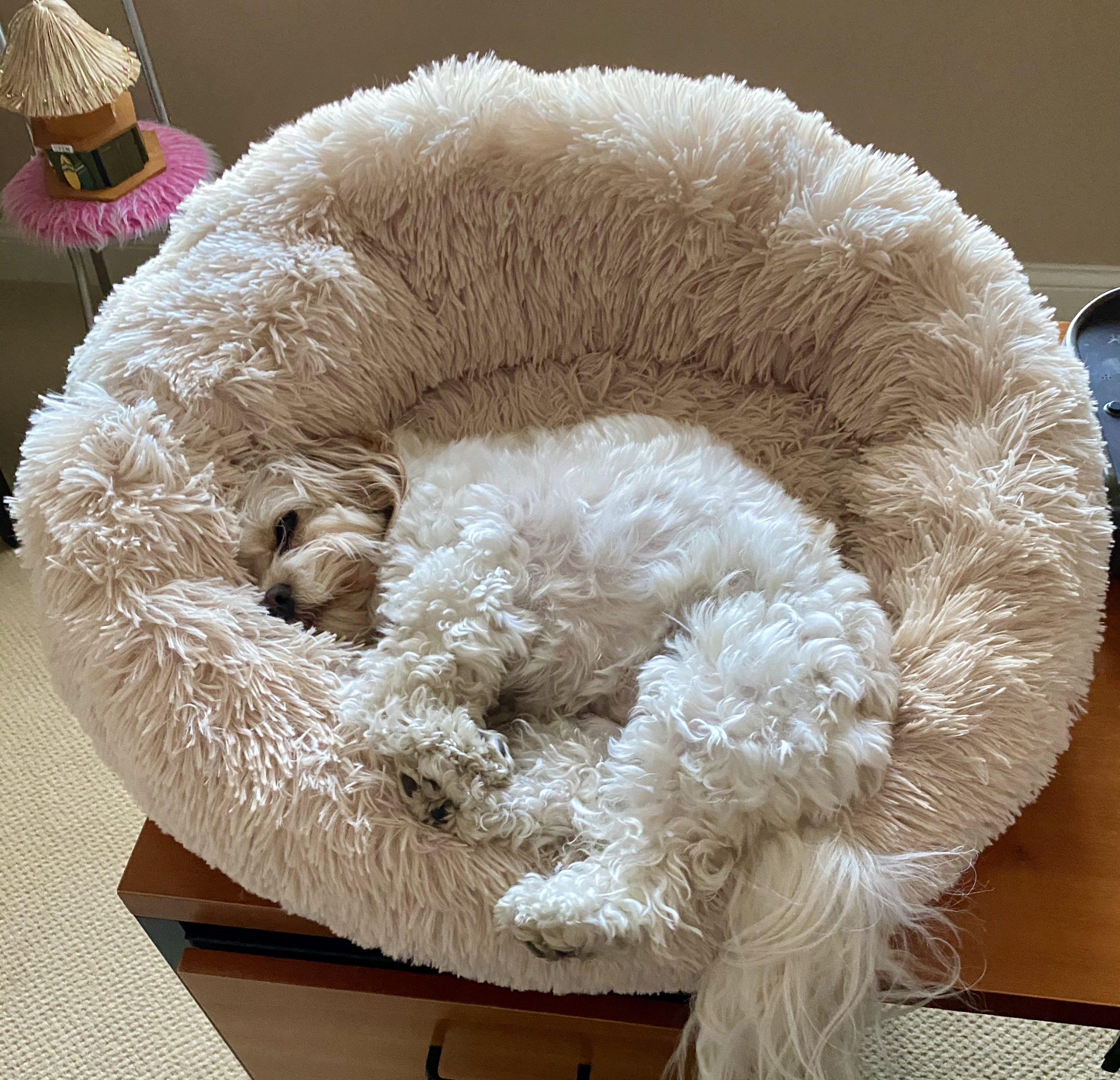 ODaisy B the Cavachon, in her Anti-Anxiety Soothing Bed for Dogs