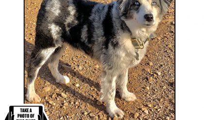 Bring Jackson Home - The Australian Shepherd Has Been Found