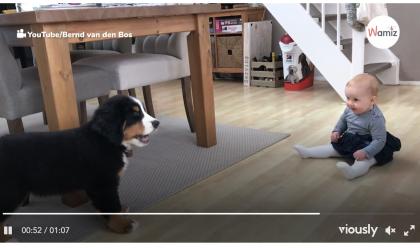 Bernese Mountain Dog Meets Puppy Video