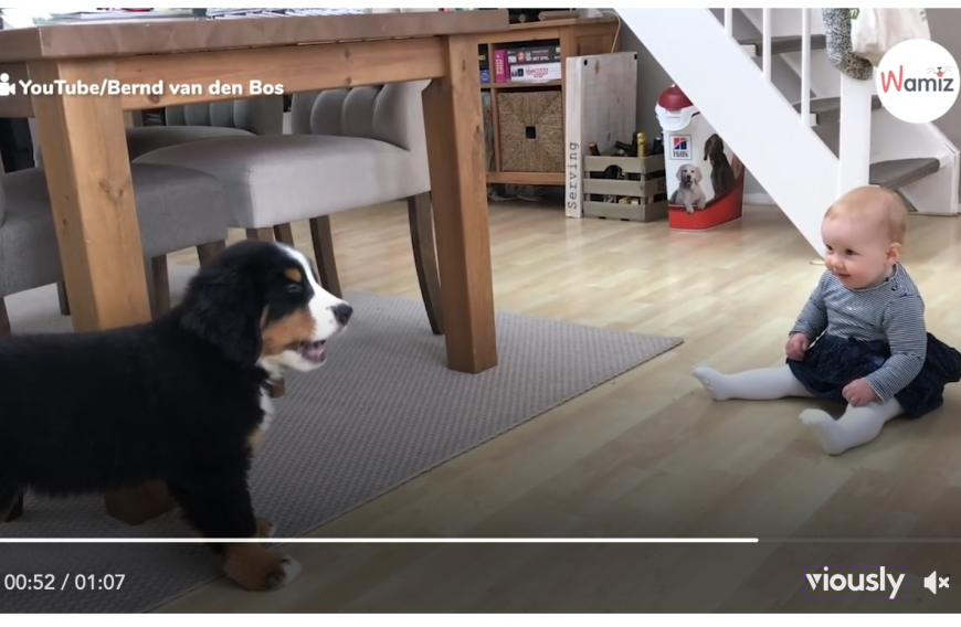 Bernese Mountain Dog Meets Puppy Video