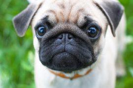 Pug Wants a Treat